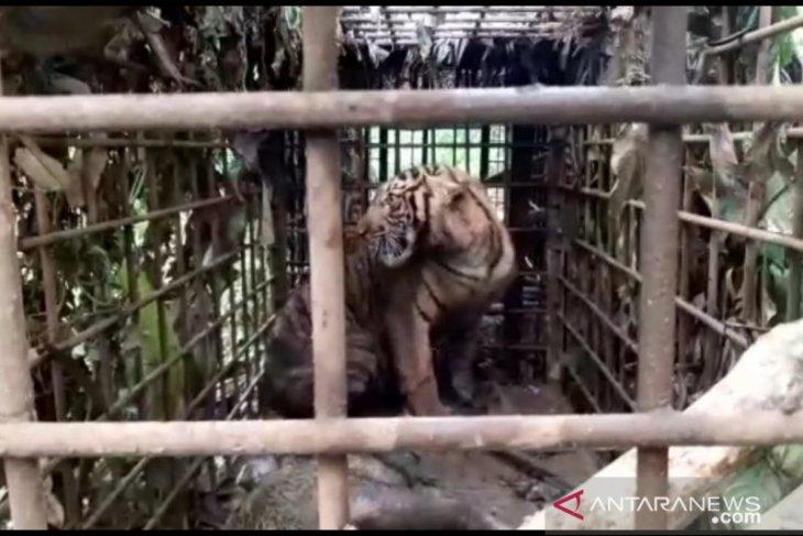 Wild Sumatran tiger captured in West Sumatra's Solok District