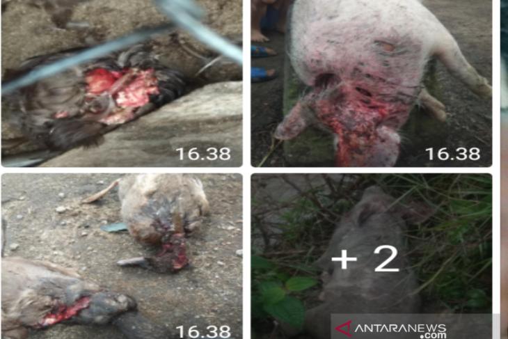 Ratusan ternak dimangsa makhluk haus darah di Taput, ini cerita pemilik
