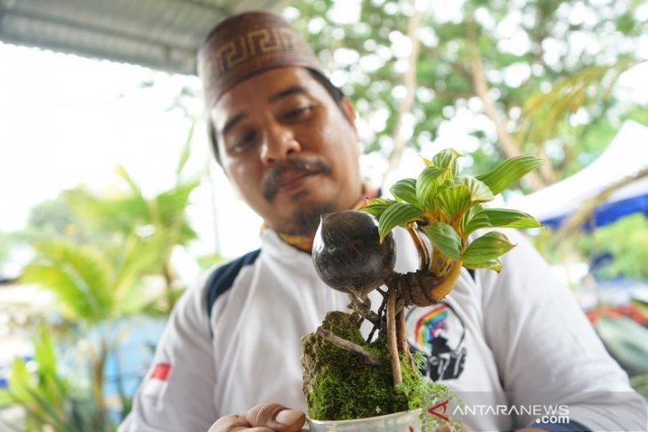 Budi Daya Bunga Bonsai Kelapa Makin Diminati Di Gorontalo Antara