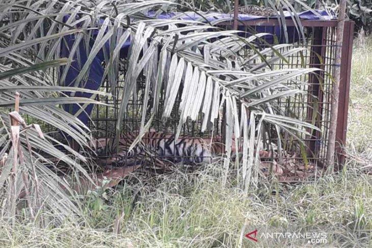 BKSDA bersama warga kembali tangkap harimau Sumatera di Solok