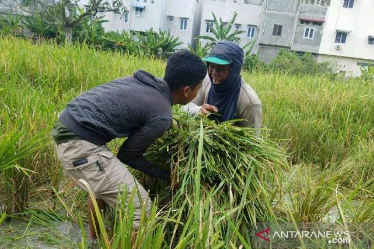 Mahasiswa Polbangtan Medan bantu petani Langkat panen padi