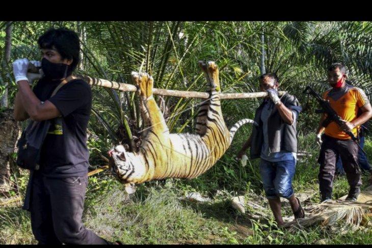 Harimau mati terkena racun