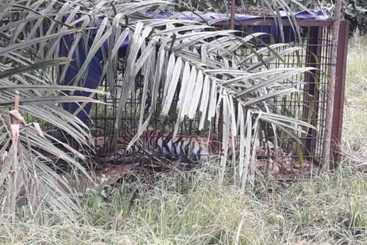 Seekor harimau sumatera ditemukan mati di perkebunan warga