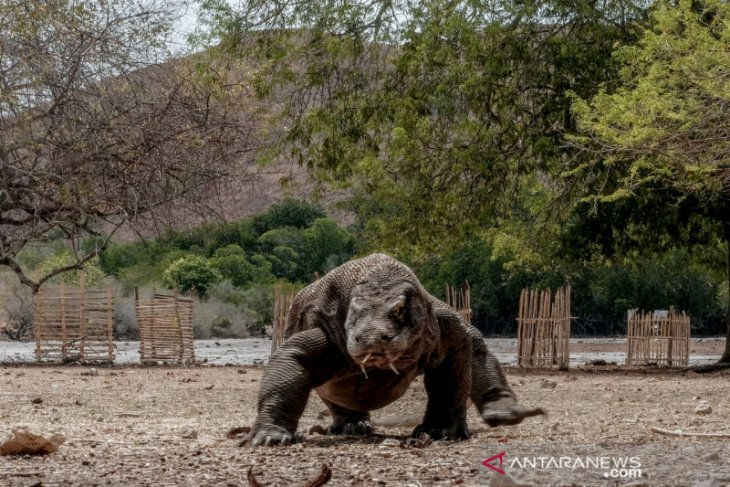 Ministry highlights rising Komodo dragon population in past few years