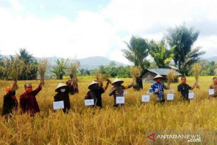 Panen raya padi varietas lokal Tapsel Sigudang capai 7 ton per hektare