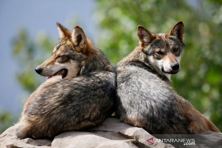 Polisi Prancis tangkap tiga serigala yang kabur, empat masih di alam liar