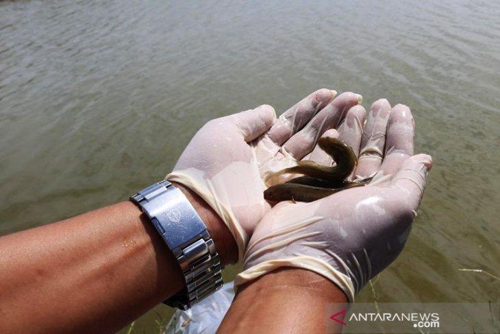 Sekjen KKP lepasliarkan ratusan ekor barang-bukti ikan endemik Kalbar di Sungai Kapuas