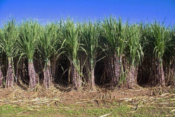 PTPN XI didorong tingkatkan kerja sama pengelolaan lahan tebu dengan Perhutani