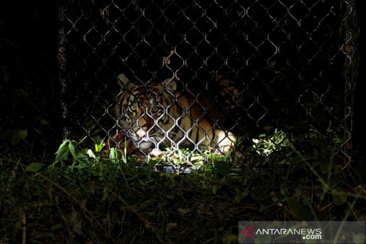 Pawang tewas saat jinakkan harimau yang kabur akibat kandang jebol dilanda longsor