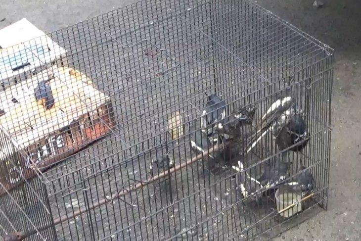 BBKSDA  Sumut lepasliarkan 628 ekor burung jalak kerbau