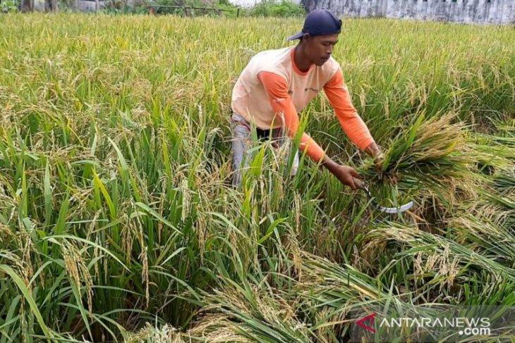 Kalbar canangkan panen padi empat kali setahun