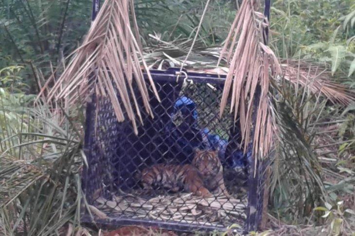 BKSDA turunkan tim atasi gangguan harimau di Aceh Tamiang