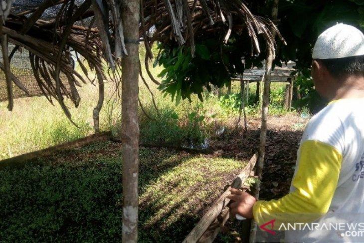Mahasiswa Polbangtan Medan ajak petani Bangka tanam seledri akibat harga sawit jatuh