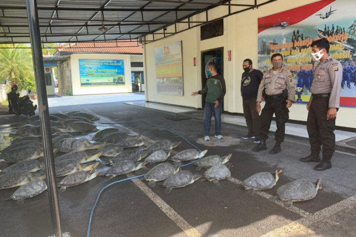 Polda Bali tangkap penyelundup 36 ekor penyu hijau
