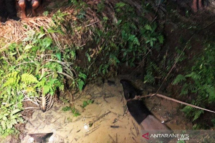 Seekor tapir terjerat di Taman Nasional Bukit Tigapuluh