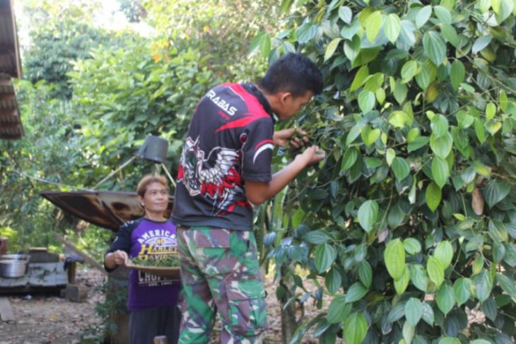 Bantuan anggota TMMD sasar ke kebun lada