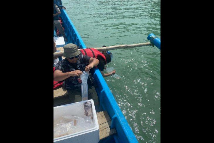 Penyelundup benih lobster ditangkap polisi, lobster sitaan dilepaskan di Carita