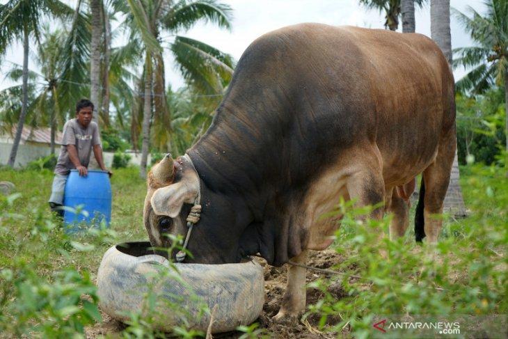 Pedagang mengaku permintaan sapi kurban turun akibat COVID-19