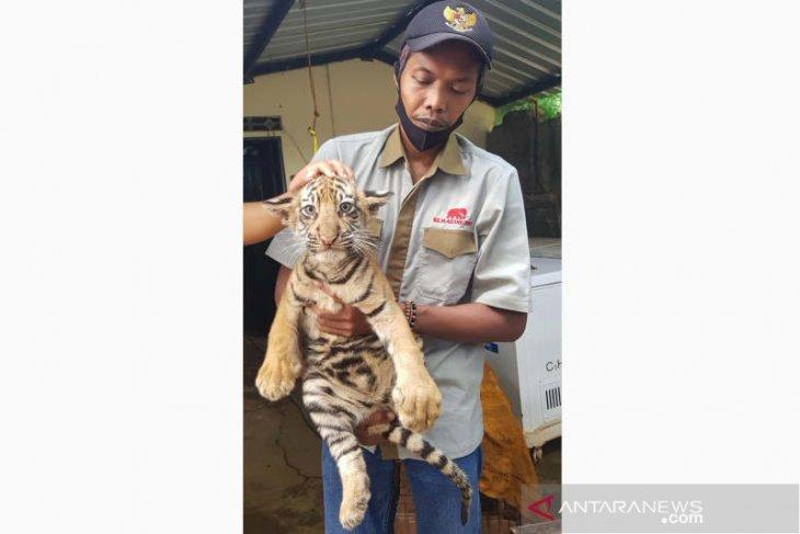 Dua anak harimau benggala lahir di Taman Satwa Semarang