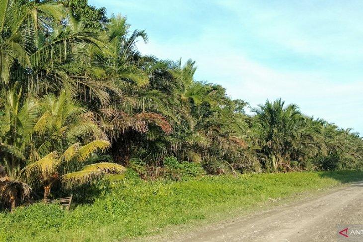 KEHATI sebut sagu potensial jadi solusi kedaulatan pangan di Indonesia