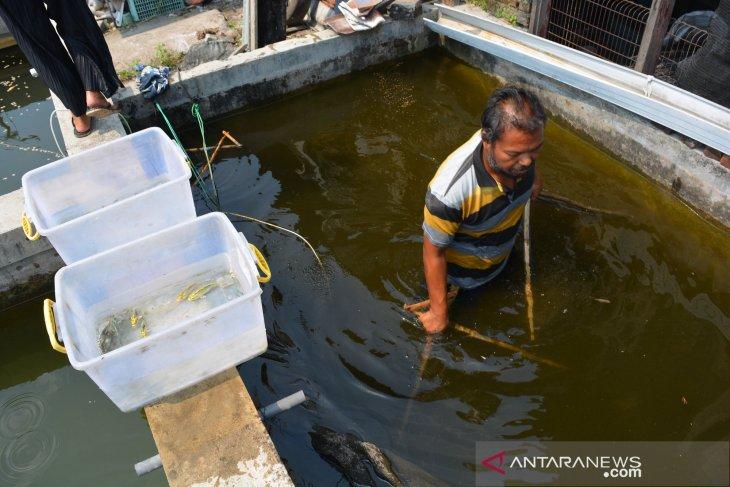 Budidaya ikan koi kawari di Jombang