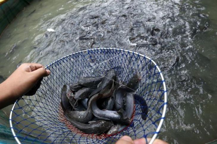 Pemkab Musi Banyuasin sinergikan program dengan  swasta penuhi kebutuhan bibit ikan unggul