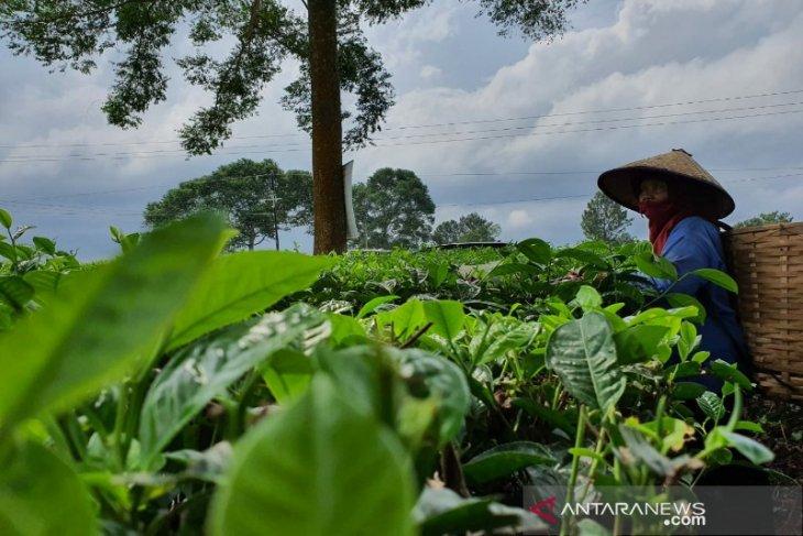 Ekspor kopi, teh dan rempah Sumut turun 17,02 persen