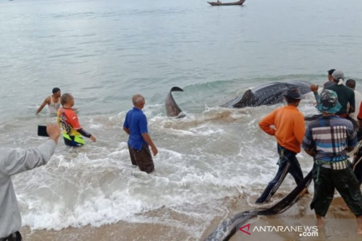 Acehnese fishermen rescue cat shark washed ashore on beach