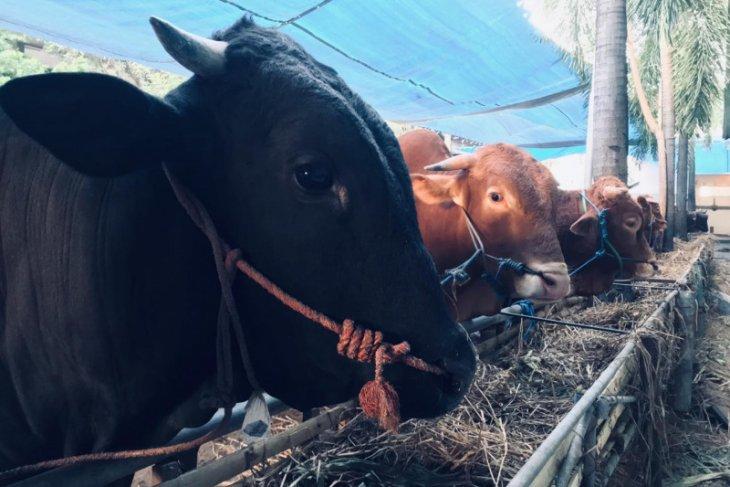 MUI imbau potong hewan kurban di rumah pemotongan