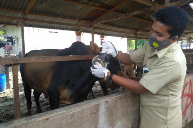 Memastikan kesehatan hewan kurban, DKPPP Lhokseumawe lakukan pemeriksaan