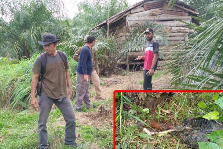10 ekor kambing mati di Seluma diduga dimangsa harimau