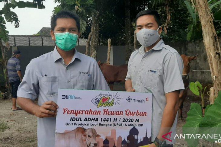 UPLB PT Timah Bangka salurkan bantuan sosial 95 ekor sapi