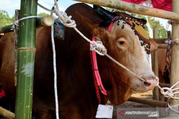 PT Timah sebar sapi kurban di tiga provinsi