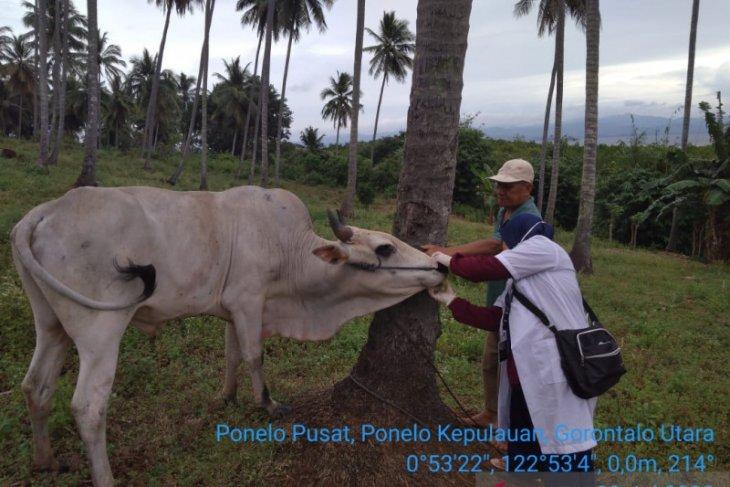 Disnakkeswan Gorontalo Utara periksa kelayakan hewan kurban