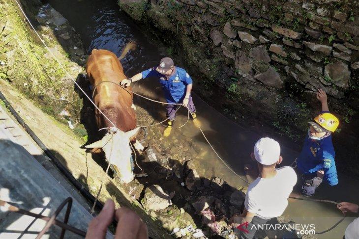 Seekor sapi kurban terperosok ke parit, petugas Damkar dikerahkan menjinakkannya