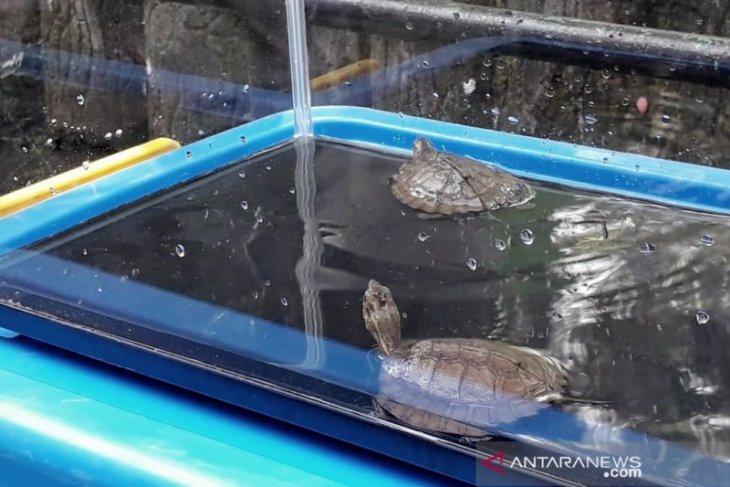 Kura-kura ceper tambah koleksi Kebun Binatang Bandung