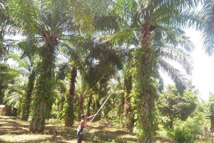 Mukomuko akan remajakan 500 hektare sawit
