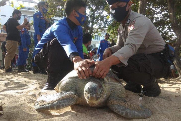 Polda Bali lepasliarkan 25 penyu sitaan di Kuta