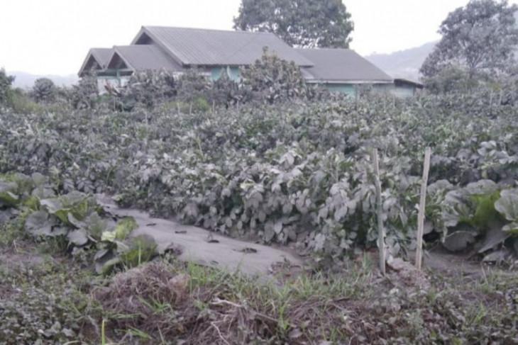 Lahan pertanian di Karo rusak parah dampak letusan Sinabung