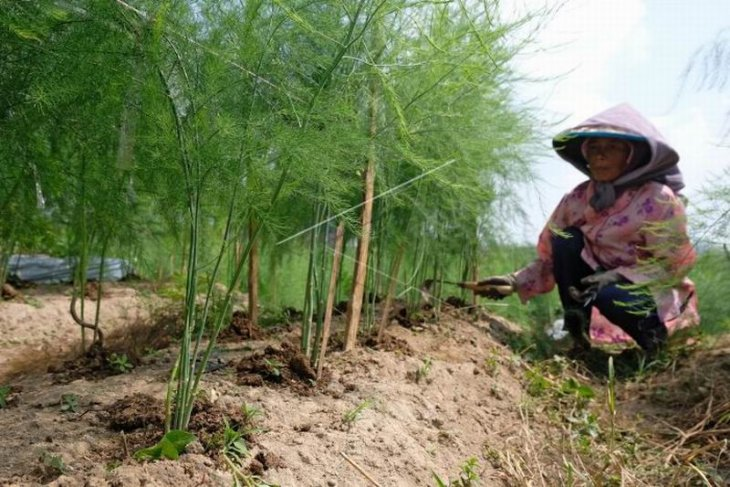 Merawat tanaman asparagus
