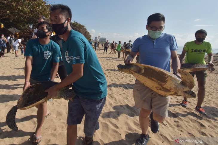 Preservation efforts intensified for Enggano Island's green turtles