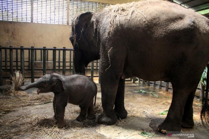 Taman Safari Prigen tambah koleksi gajah Sumatera