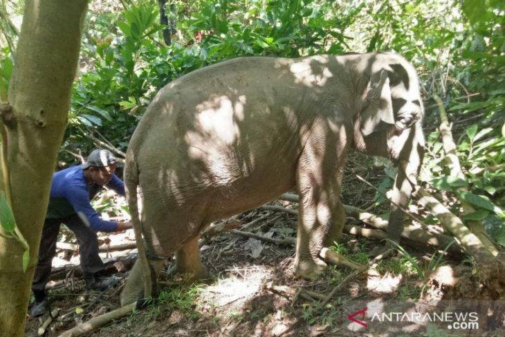 BKSDA Aceh berhasil selamatkan anak gajah dari jerat tali