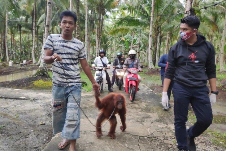 Bayi orangutan dijemput dari rumah warga