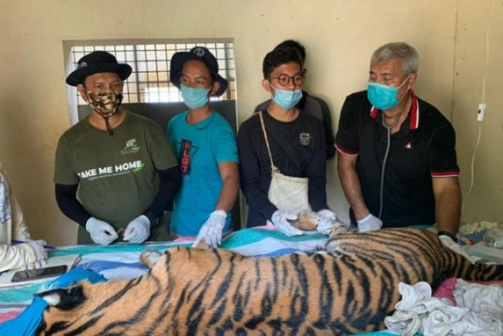 Hindari siswa belajar online jadi korban, harimau  ditangkap di Tapsel