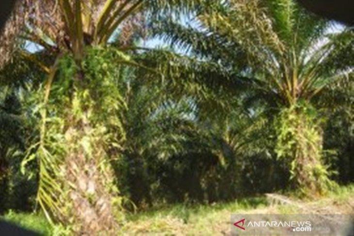 Produksi TBS kelapa sawit Kotabaru turun drastis