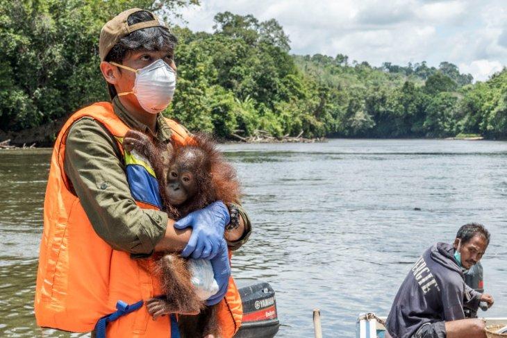 Petugas konservasi selamatkan satu bayi orangutan di Ketapang