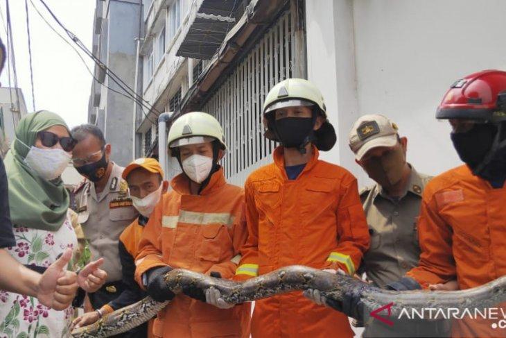 Butuh 30 menit petugas damkar  taklukan ular sanca sepanjang 3 meter