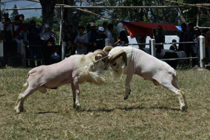 Tradisi adu domba di Garut