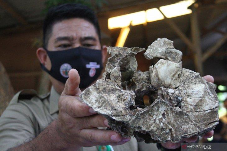 BKSDA Jatim identifikasi temuan tengkorak diduga harimau jawa di Kota Malang